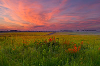 missouri, prairie, royal catchfly, sunrise,