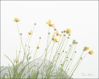 Coreopsis and Fog