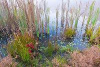 Pond and Lilypads