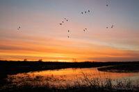 Ducks, arkansas, sunset