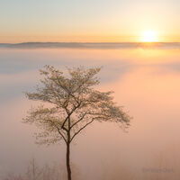 Dogwood tree overlooking the war eagle river at sunrise with fog.
