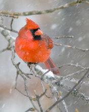 arkansas, cardinal