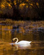 arkansas, trumpeter swan, swan