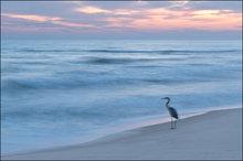 beach, great blue heron, gulf islands national seashore, florida