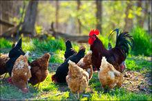 Chickens, rooster, hens, arkansas, farm