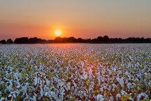 cotton, field, sunset