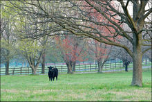 cattle, farm, arkansas, spring