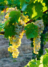 grapes, vinyard