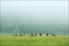 Elk, Boxley Valley, Arkansas, fog bull elk, elk herd, Buffalo River