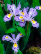 arkansas, crested iris