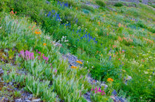 gold king basin, Uncompahgre National Forest, Colorado, indian paintbrush