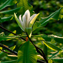Umbrella Magnolia Blossom
