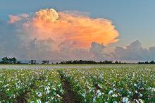 memphis, cotton,