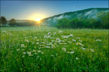 Sunrise, ox-eyed daisies, Boxley Valley, Arkansas