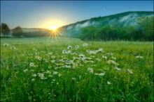 Sunrise, ox-eyed daisies, Boxley Valley, Arkansas