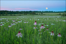 prairie, cook prairie, wildflowers, purple coneflower, coneflower, missouri, full moon, moonrise