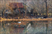 Mill Pond and Trumpeter Swan