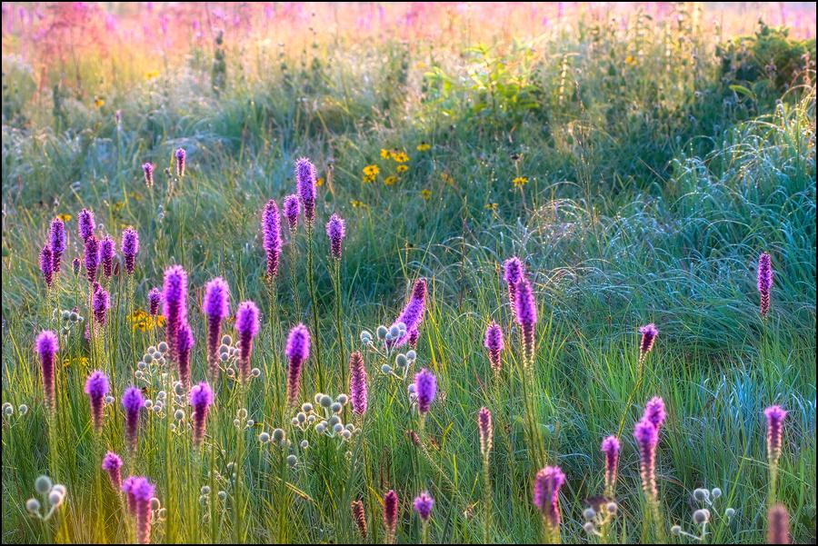 arkansas, , prairie, wildflowers