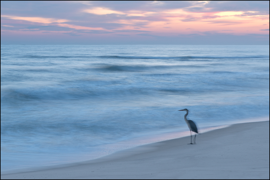beach, great blue heron, gulf islands national seashore, florida