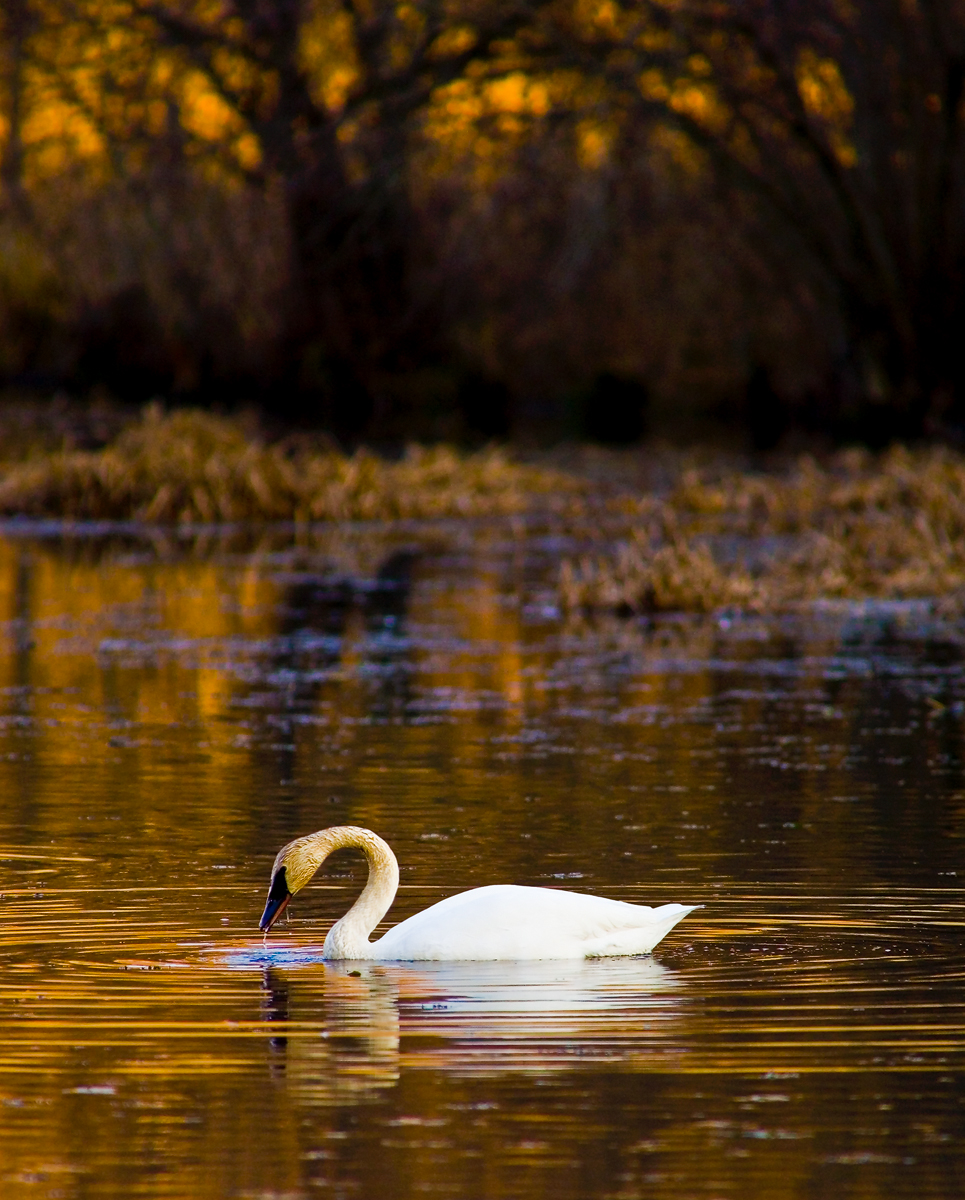 Taken several years ago, this is a photograph of one of three or four wild trumpeter swans that used to inhabit the mill pond...