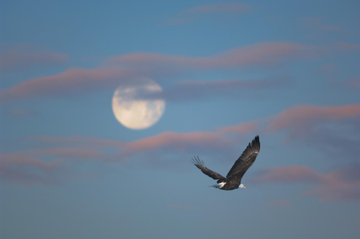 arkansas, eagle, bald eagle, photo