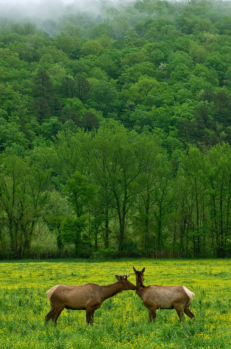 A young bull elk flirts with a cow in Boxley Valley.