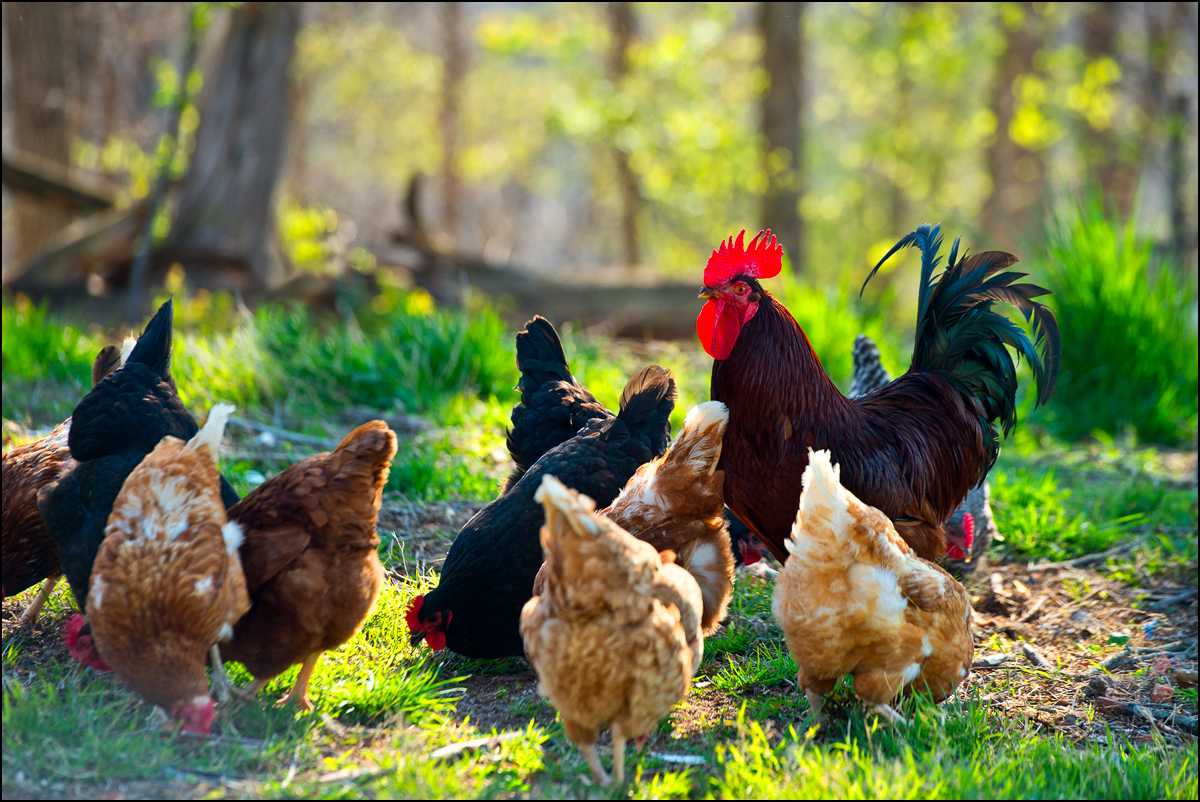 Early morning sunlight provided the backlight for this photograph of some chickens near my home -a rooster and his harem...