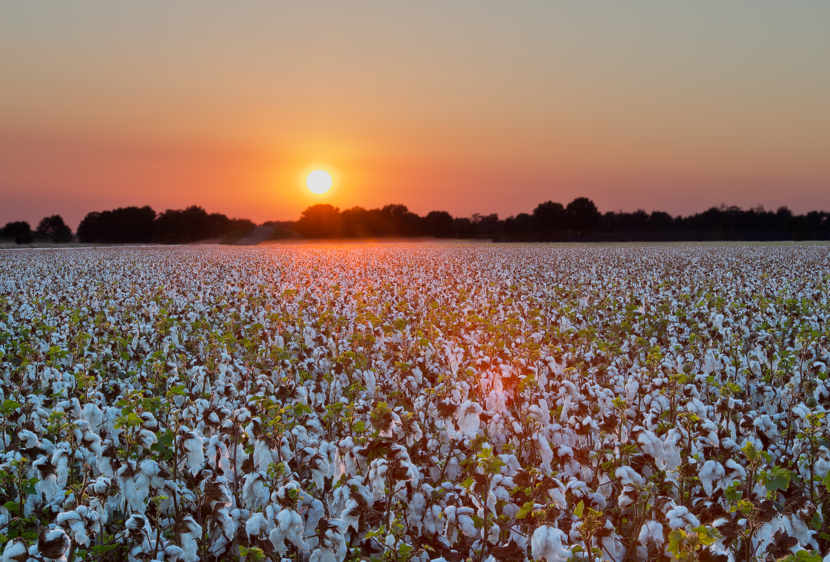 cotton, field, sunset