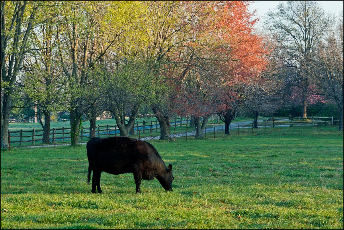 cattle, benton county, arkansas, spring