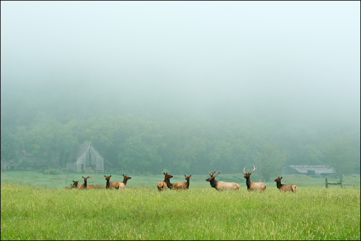 Elk, Boxley Valley, Arkansas, fog bull elk, elk herd, Buffalo River