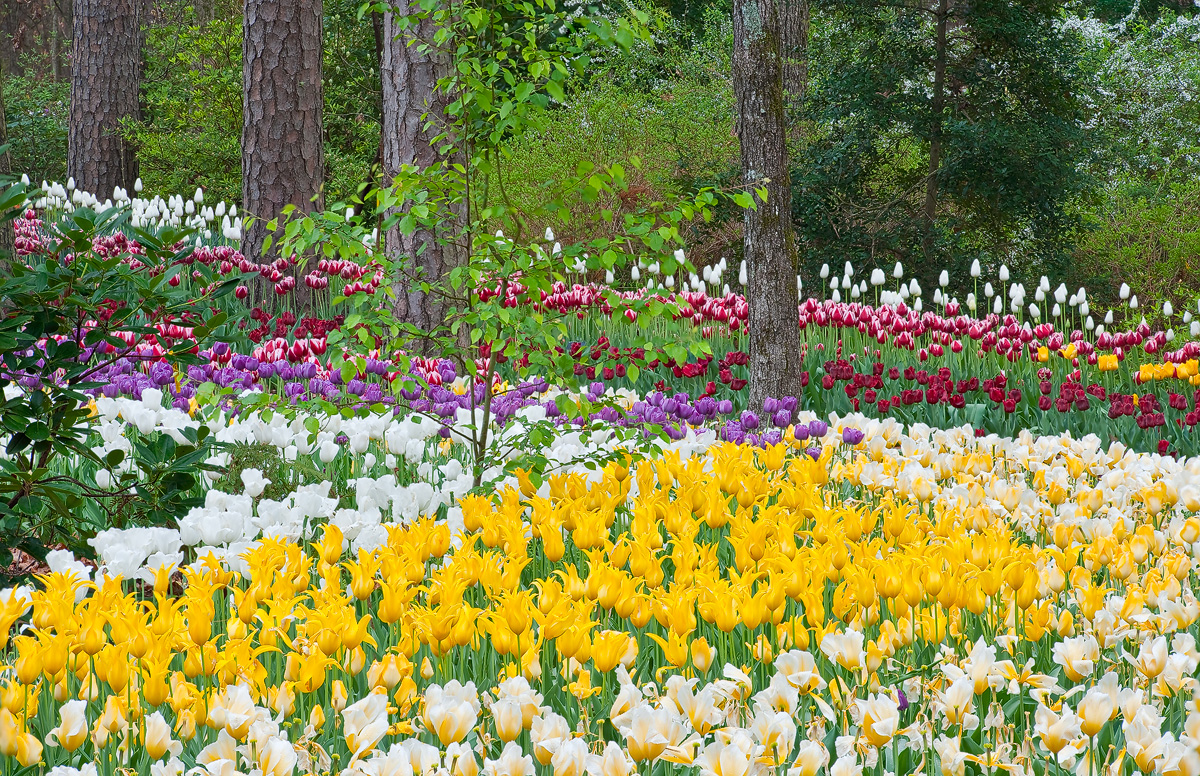 Rows of multi-colored tulips create a work of landscaping art.