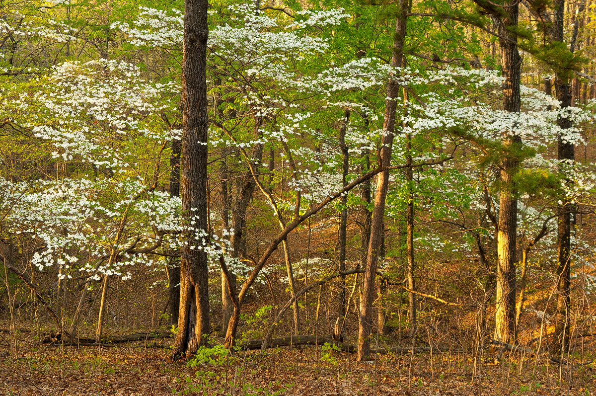 Dogwood blossoms form halos around the larger oak trees during late afternoon.