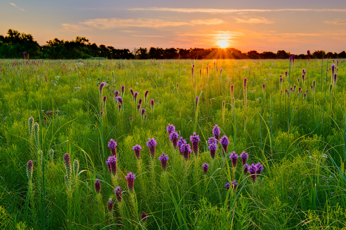 Blazing Star basking in the early morning light, Wah Sha She Prairie, Missouri. It is one of the largest remaining hardpan...