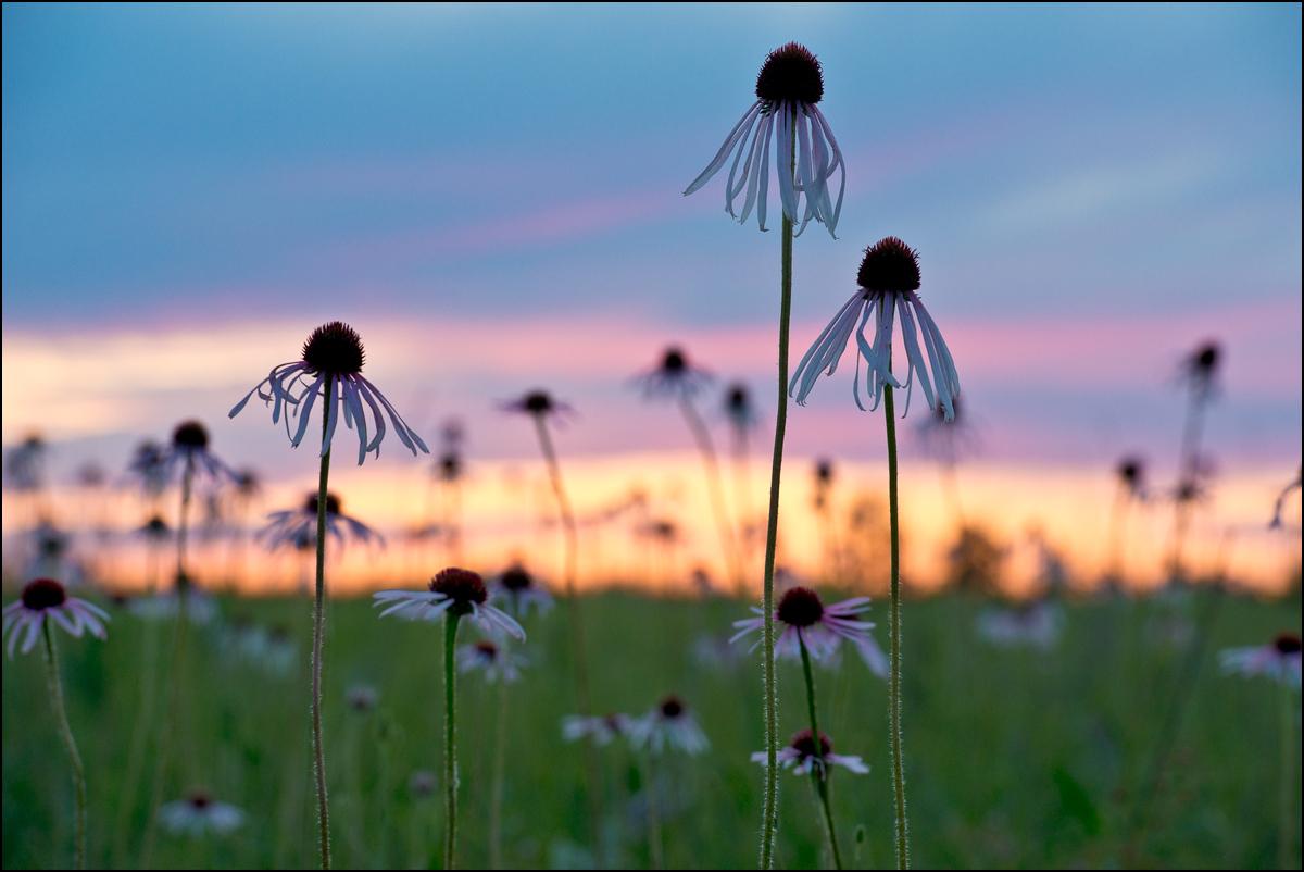 sunset, coneflower, prairie, wildflower, sheldon cook prairie, missouri, photo