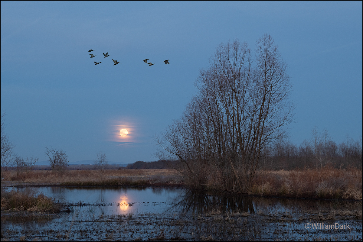 Nothing says Arkansas like mallard ducks in the wintertime.  Pictured here over the Wolf moonrise, the first of 2021.