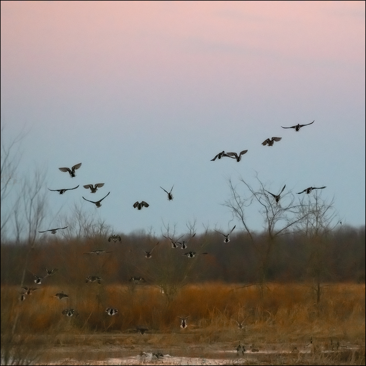 A few mallards flush from a late afternoon feeding., Arkansas, ducks