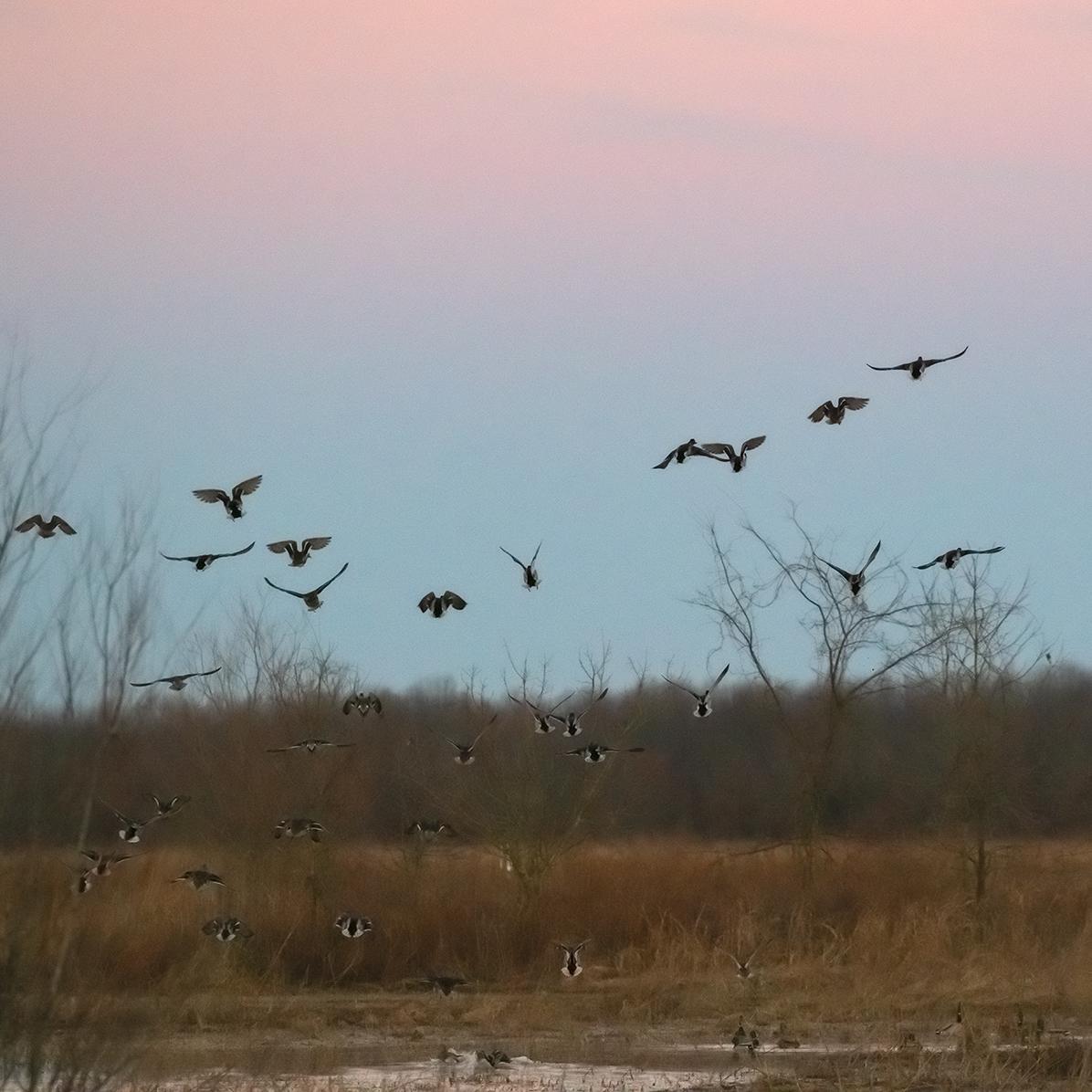Ducks Taking Flight